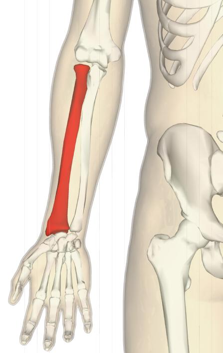 橈骨圧迫麻痺から見た拷問のダメージ論