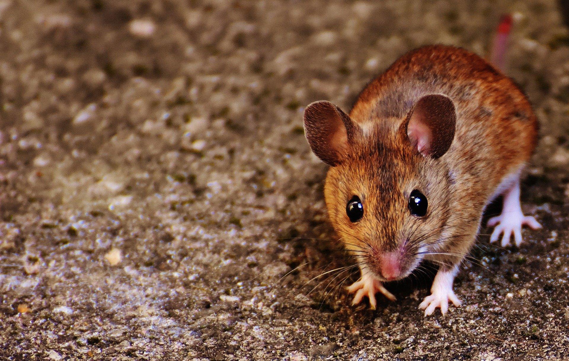 子年なのでネズミを使った拷問の話でもしましょう
